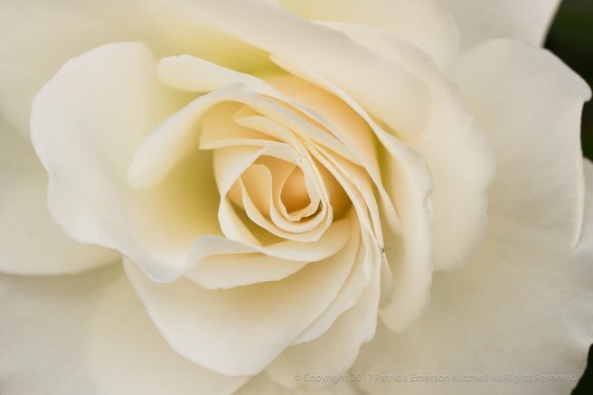 White_Rose_and_a_Visitor,_4.25.17.jpg