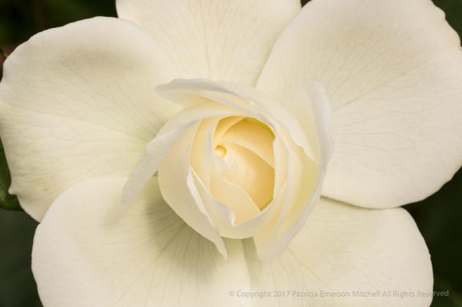 White_Rose_(I),_4.19.17.jpg