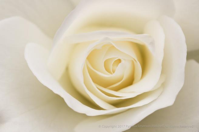 White_Rose_(I),_4.26.17.jpg