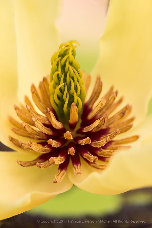 Yellow_Magnolia,_3.9.17.jpg
