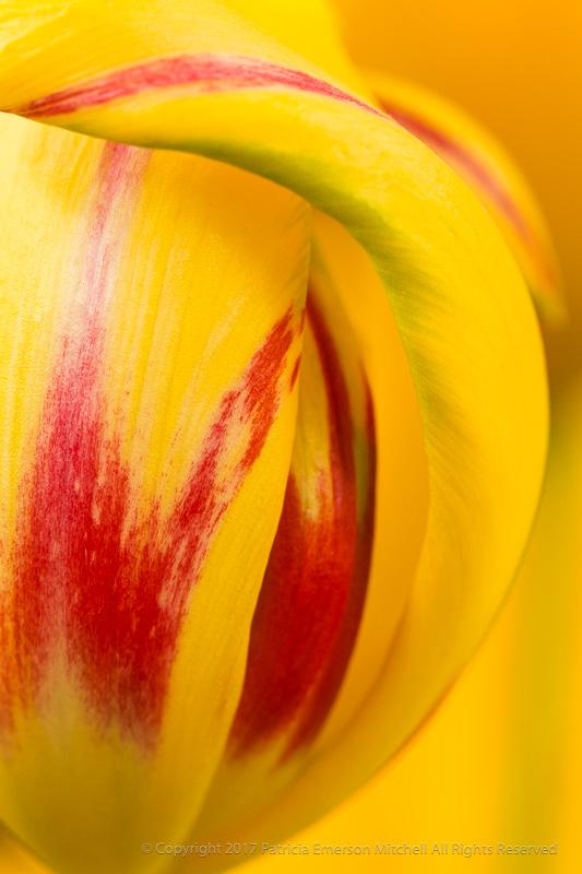 Yellow,_Red_&_Green_Tulip,_4.11.17.jpg