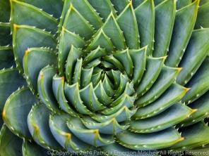 Aloe polyphylla (I), 7.21.14