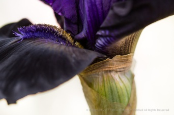 Black Falls Iris on White, 4.28.17