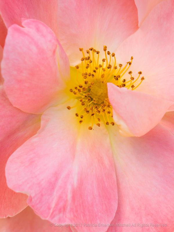 Blushing_Rose,_5.8.17.jpg