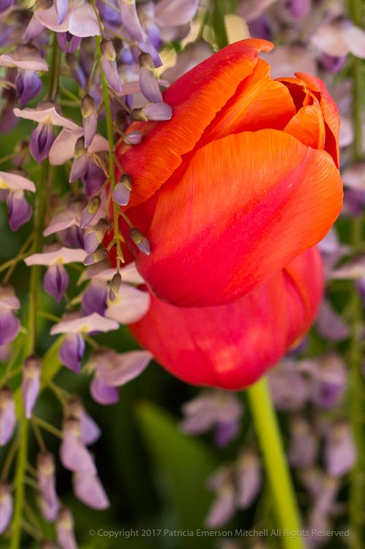 Filoli-_Tulips_&_Wisteria,_4.4.17.jpg