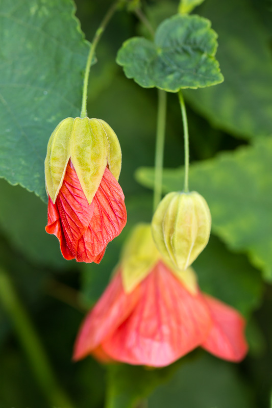 Flowering_Maple,_9.15.16.jpg