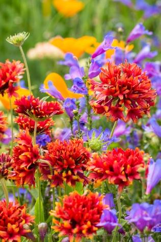 Gaillardia, Penstemon and Poppies, 5.11.17