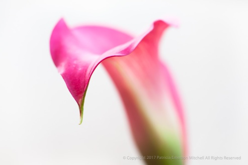 Pink Calla on White, 5.15.15