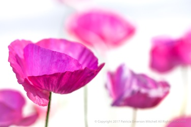 Pink Poppies on White, 3.19.14