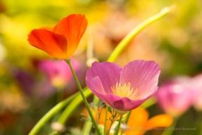 Poppies (I), 5.1.17