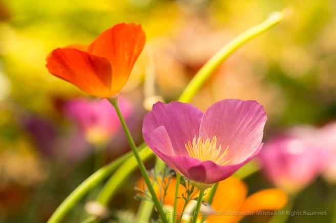 Poppies_(I),_5.1.17.jpg