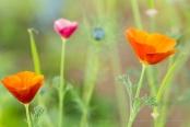 Poppies (II), 5.1.17