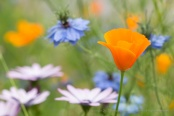 Poppies, Love-in-a -mist and African daisies, 5.16.17