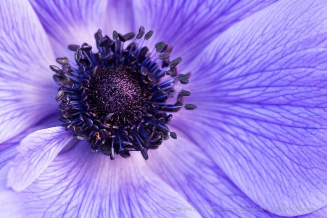 Purple_Anemone,_1.30.17.jpg