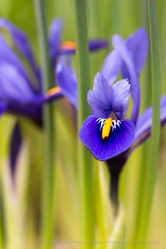 Purple_Iris_on_Green_(I),_3.7.17.jpg