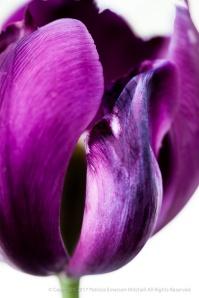Purple Tulip on White, 3.3.15