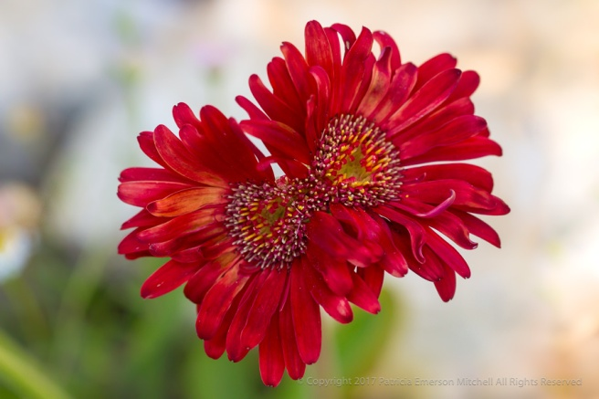 Red_Gerbera_Duo,_5.3.17.jpg