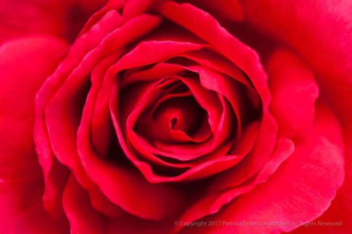 Starfire_Rose,_8.24.15.jpg