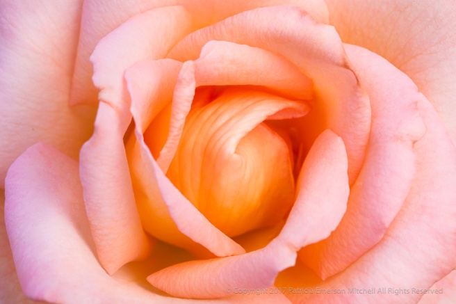 Summer_Dream_Rose,_8.19.15.jpg