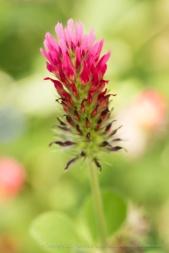 Trifolium incarnatum, 5.1.17
