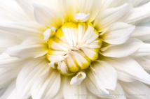 White & Yellow Dahlia, 7.5.15