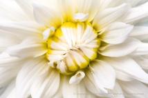 White & Yellow Dahlia, 7.5.15