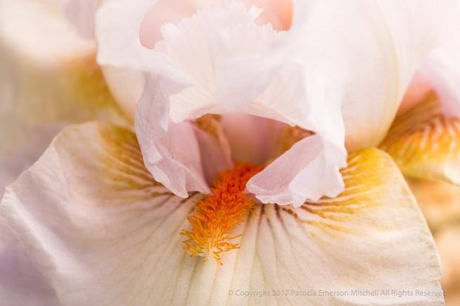 White,_Gold_&_Orange_Iris,_5.4.17.jpg