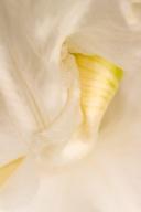 White Iris Detail, 5.4.17