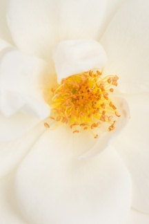 White Rose, 5.18.17