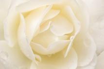 White Rose (I), 10.28.16