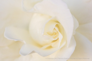 White Rose (I), 5.4.17
