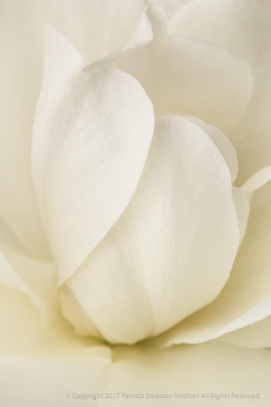 White_Rose_(II),_4.26.17.jpg