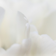 White Tulips, 3.19.15