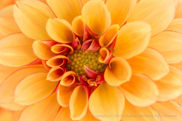 Yellow_&_Red_Dahlia,_5.13.17.jpg