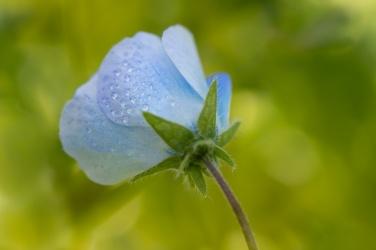 Baby Blue Eyes & Water Drops, 2.23.16