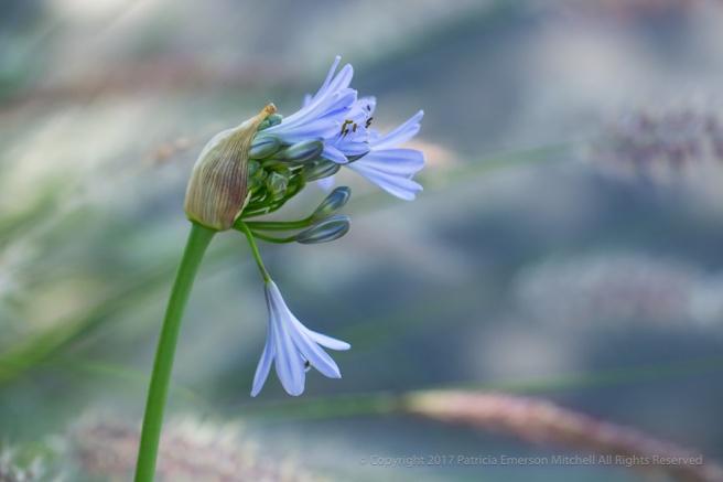 Blooming_Agapanthus,_6.5.17.jpg