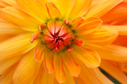 Yellow & Orange Dahlia, 7.5.15