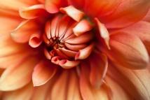 Orange Dahlia, 8.11.15