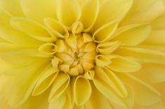 Yellow Dahlia, 7.5.16