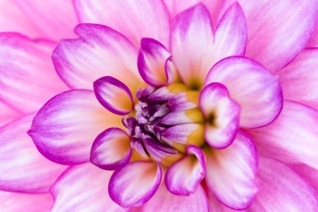 Dahlias_(Set_Two)-7