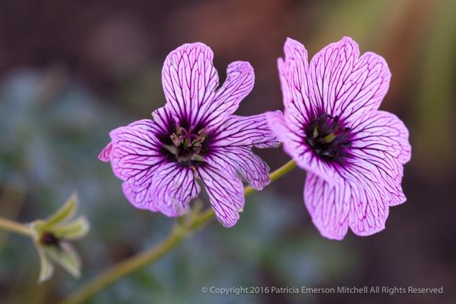 Geranium Flowers,_1.12.16.jpg