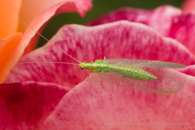 Green_Bug_on_a_Rose,_6.12.17.jpg