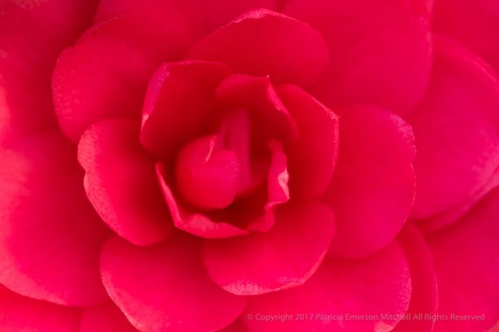 Pink_Camellia,_1.31.17.jpg