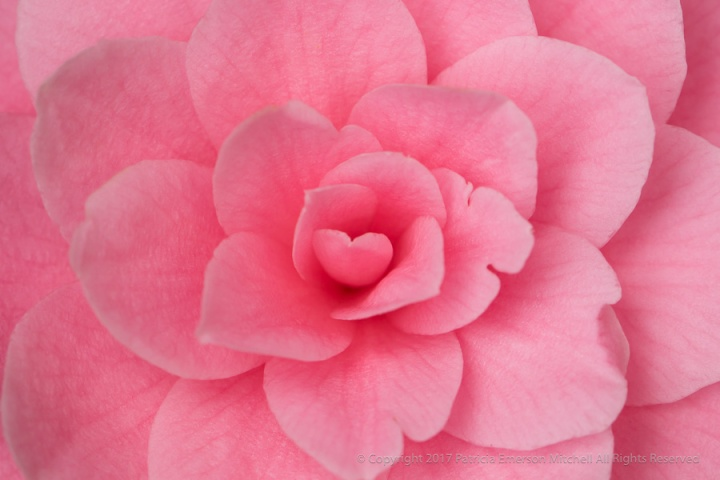 Pink_Camellia_(IV),_3.10.17.jpg