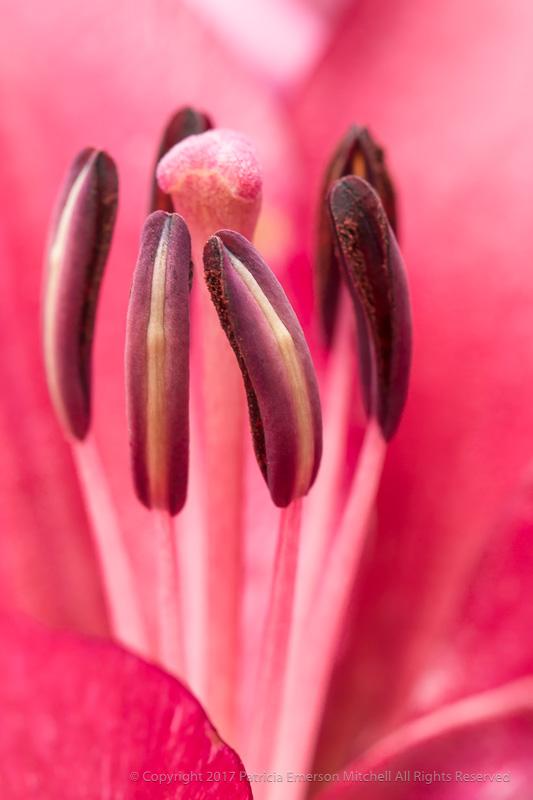 Pink_Lily,Pistil&Stamen,_,_6.13.17.jpg