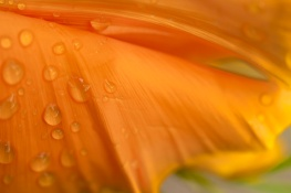 Poppy Petals and Raindrops, 3.21.16