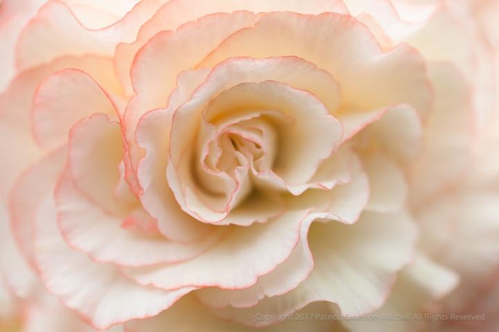Ruffled_Begonia,_7.21.14.jpg