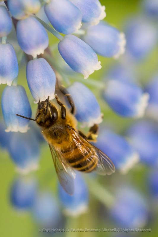 The_Bee_&_Grape_Hyacinth,_3.7.17.jpg