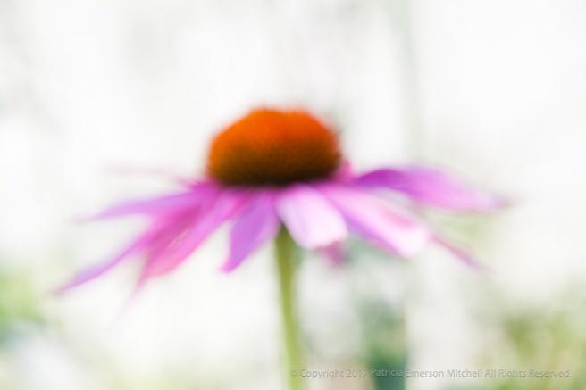 Unsharp-_Echinacea,_6.13.14.jpg