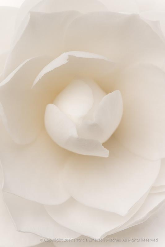 White_Camellia_(I),_2.27.17_.jpg